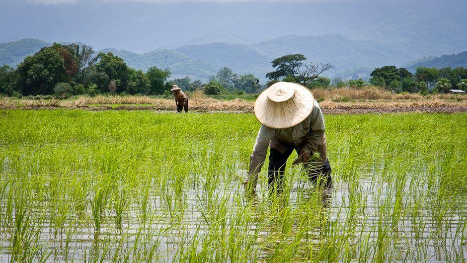 Rice Production Levels Could Spark Global Food Crisis